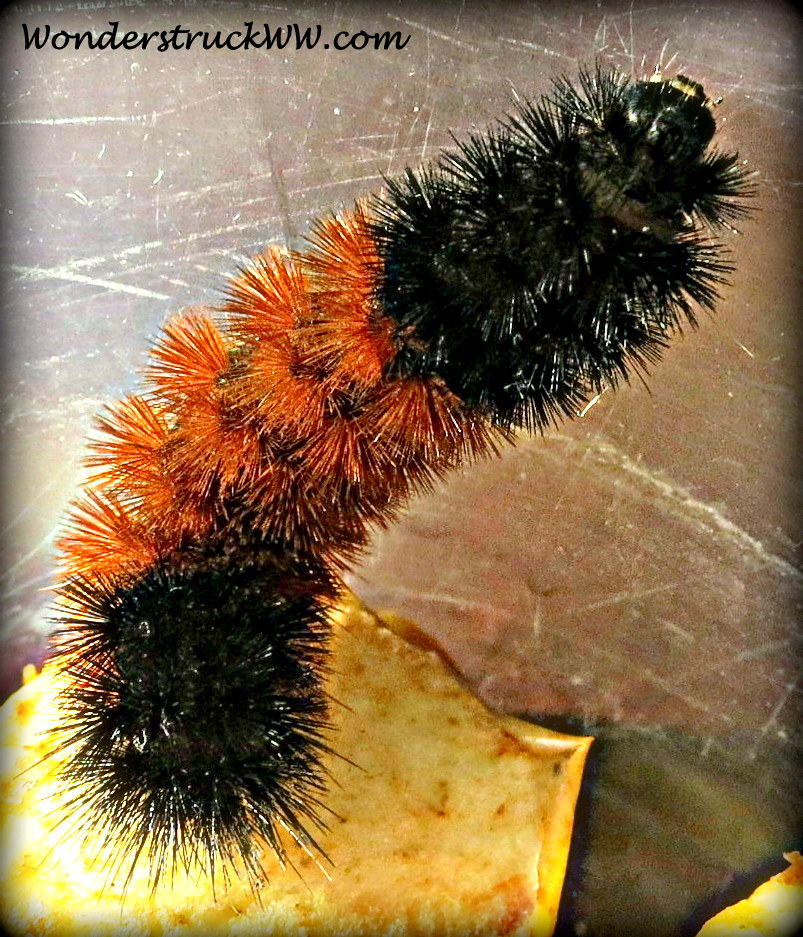 All Black Woolly Bear Caterpillars: Wooly Bear Caterpillar Emerges Into Tiger Moth